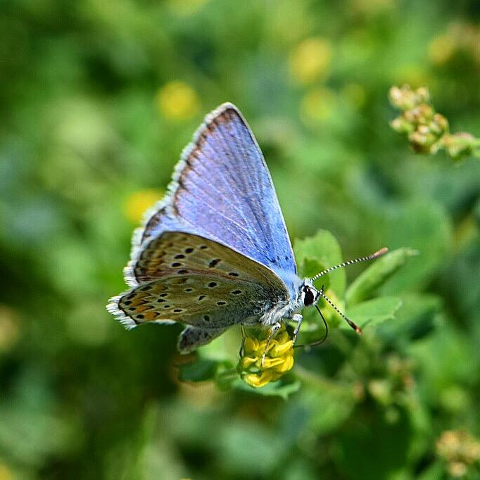 @UK_Wildlife @AshWhiffin @savebutterflies @SurreyWT @BDSdragonflies Your pictures are beautiful 👍  #BlueMonday #nature @ThePhotoHour 💙