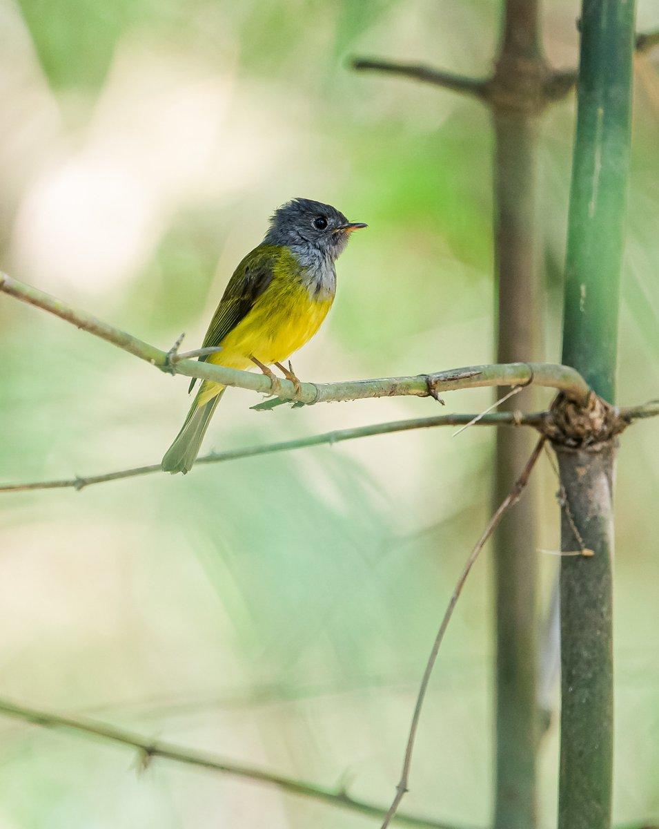 A grey-headed Canary flycatcher นกจับแมลงหัวสีเทา - นกอพยพช่วงหน้าหนาว #birds #birding #photographer #nature #wildlife #birdofthailand