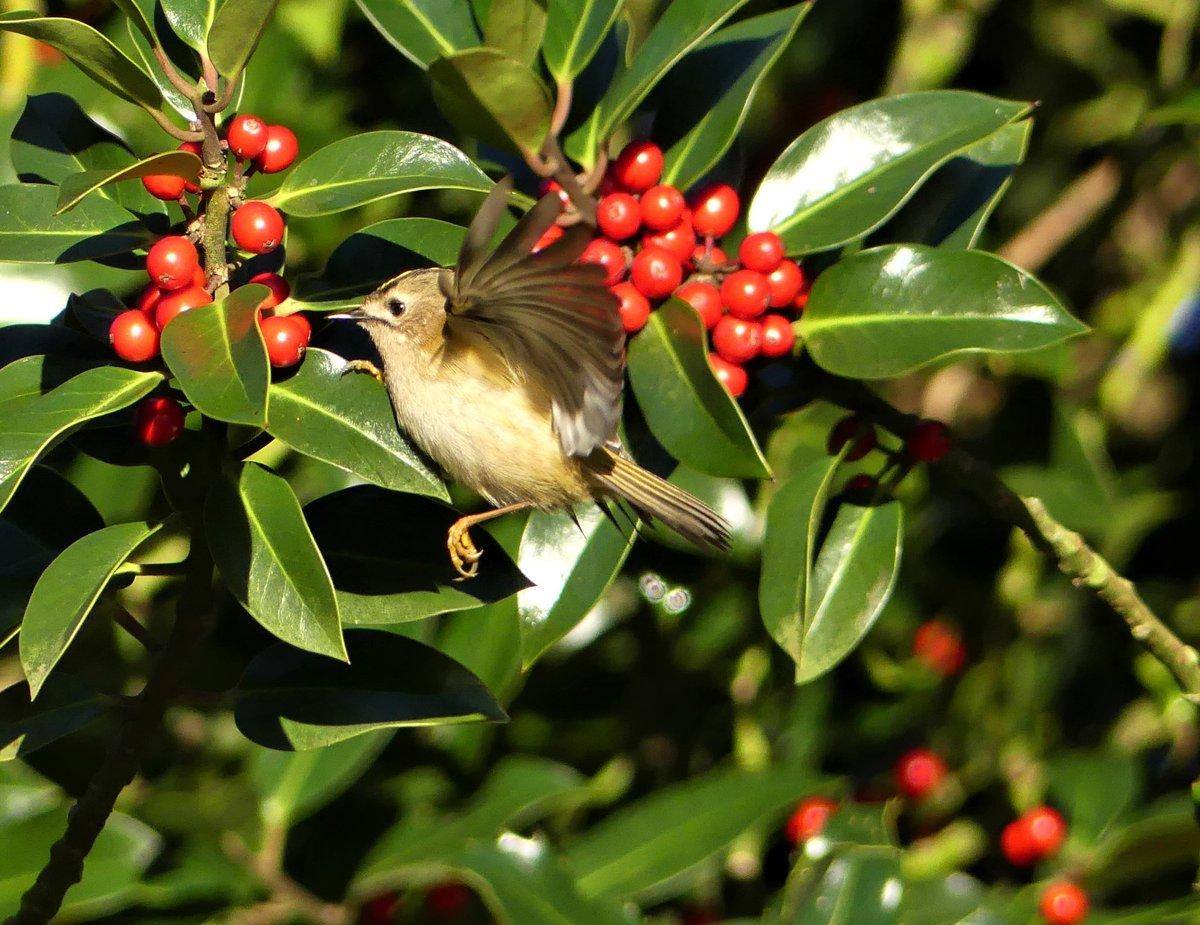 Goldcrest in a holly bush in Shelf Woods, Halifax. #birdtherapy #TwitterNatureCommunity #ThePhotoHour #nature #wildlife #birds