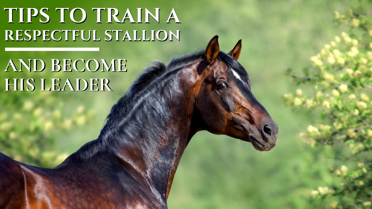 There are some expert ways through which you can train a Stallion who will respect you & allow you to become  his leader. Explore details on    #equine #EquineOrganiser #thoroughbred #stallion #horsetraining #Horses #horselovers #USA #horsecare  #like4like
