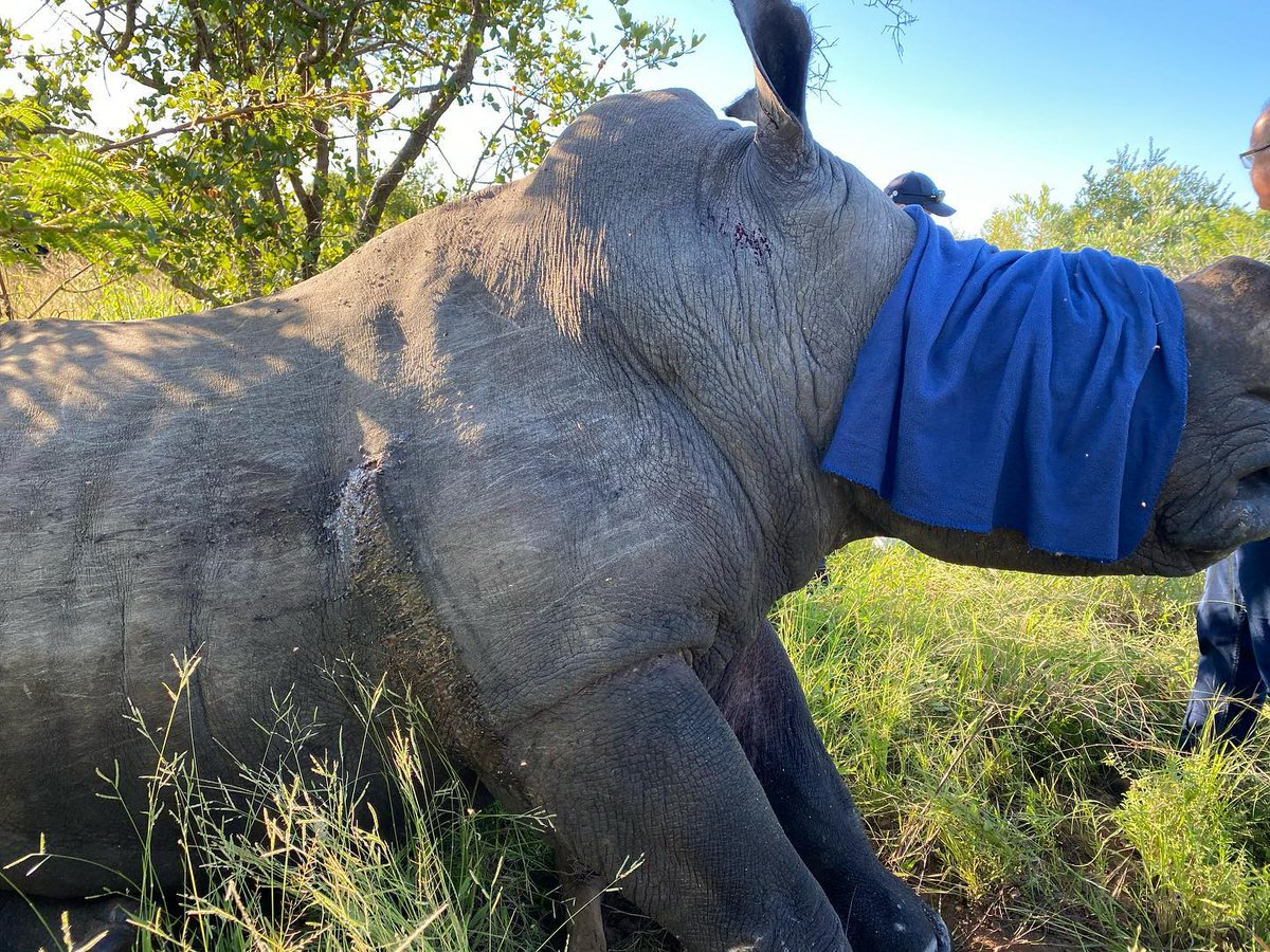 PICTURES: A male white rhino bull was tragically shot at in a private reserve within the greater Kruger area in December. The suspect has been apprehended, and vets are optimistic the animal will survive this brutal act. https://t.co/rOKdfItg9D https://t.co/i98OqBwAsZ