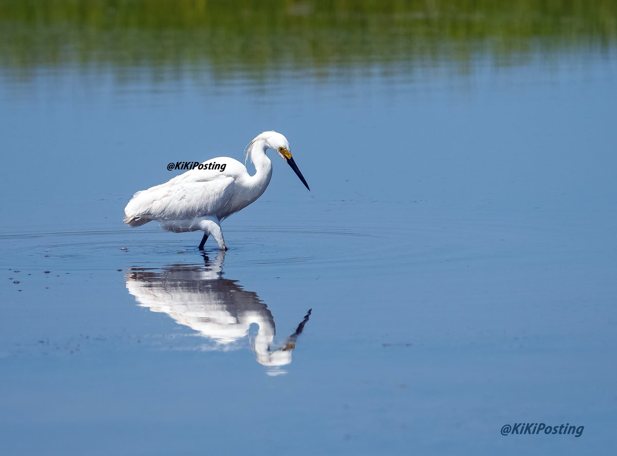 Mirror mirror ~ #wildlifephotography #wildlife #birds #birdphotography #Peace #harmony #tranquility #photography #nature #NaturePhotography #naturelovers #TwitterNatureCommunity #REFLECTION #MirrorMirror #water #blue #egret
