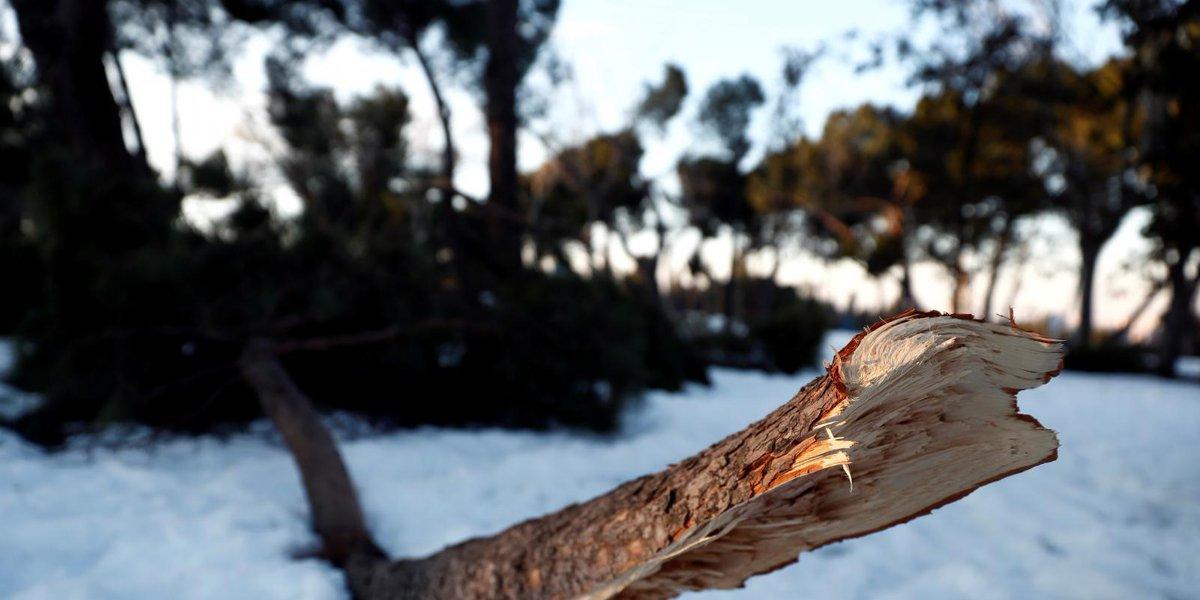 📣 El Ayuntamiento de Madrid eleva a 749.000 la cifra de árboles dañados #Madrid