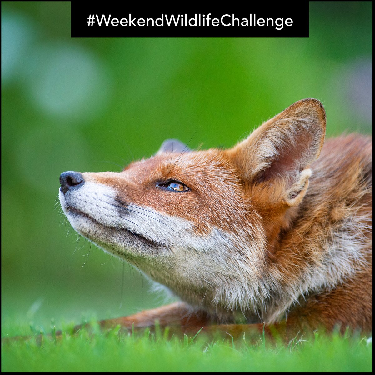 With foxes being much more active recently, we want to see YOUR #fox photos for this weeks #WeekendWildlifeChallenge!  Please leave your photos as a reply to this tweet and we will feature a selection on Monday! 🦊  #WildlifePhotography #AnimalPhotography