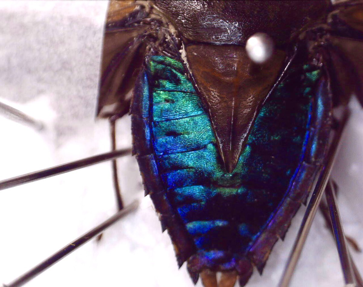 My #BlueBugs contribution: a beautiful iridescent shield bug preserved & photographed during my undergraduate dissertation in Kibale National Park in Uganda  • #BlueMonday #Insects #Biodiversity #Entomology
