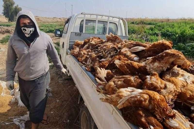 أدى تفشي مرض #أنفلونزا_الطيور إلى نفوق عشرات الآلاف من الدواجن قرب بلدة #سامراء الواقعة شمال العاصمة #بغداد، فيما تكافح السلطات لاحتواء انتشار الوباء إلى المحافظات المجاورة #حماك #حكماء_العالم #العراق