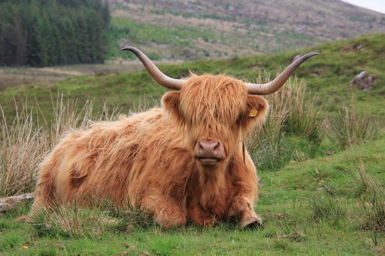 WATCH: If you're intrigued by the fluffy, shaggy coats of Scotland's Highland cows, you can now keep an eye on their antics. A local tourism board have created a 'Coo Cam' for people to marvel over their famous ruminants. https://t.co/gbxseq0L5s https://t.co/mC4E7gBV2b