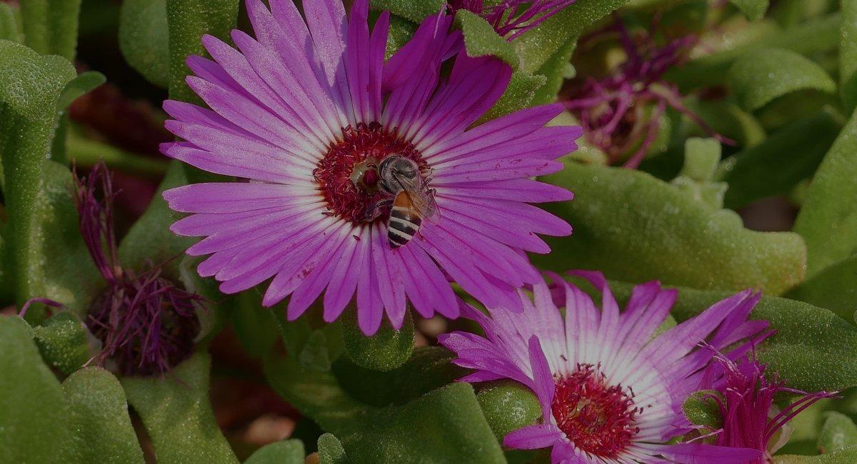 IBRA_Bee photo