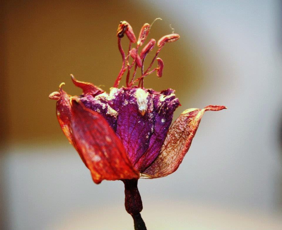 Dried fuchsias 🌸. #macrophotography #Flowers #DSLR