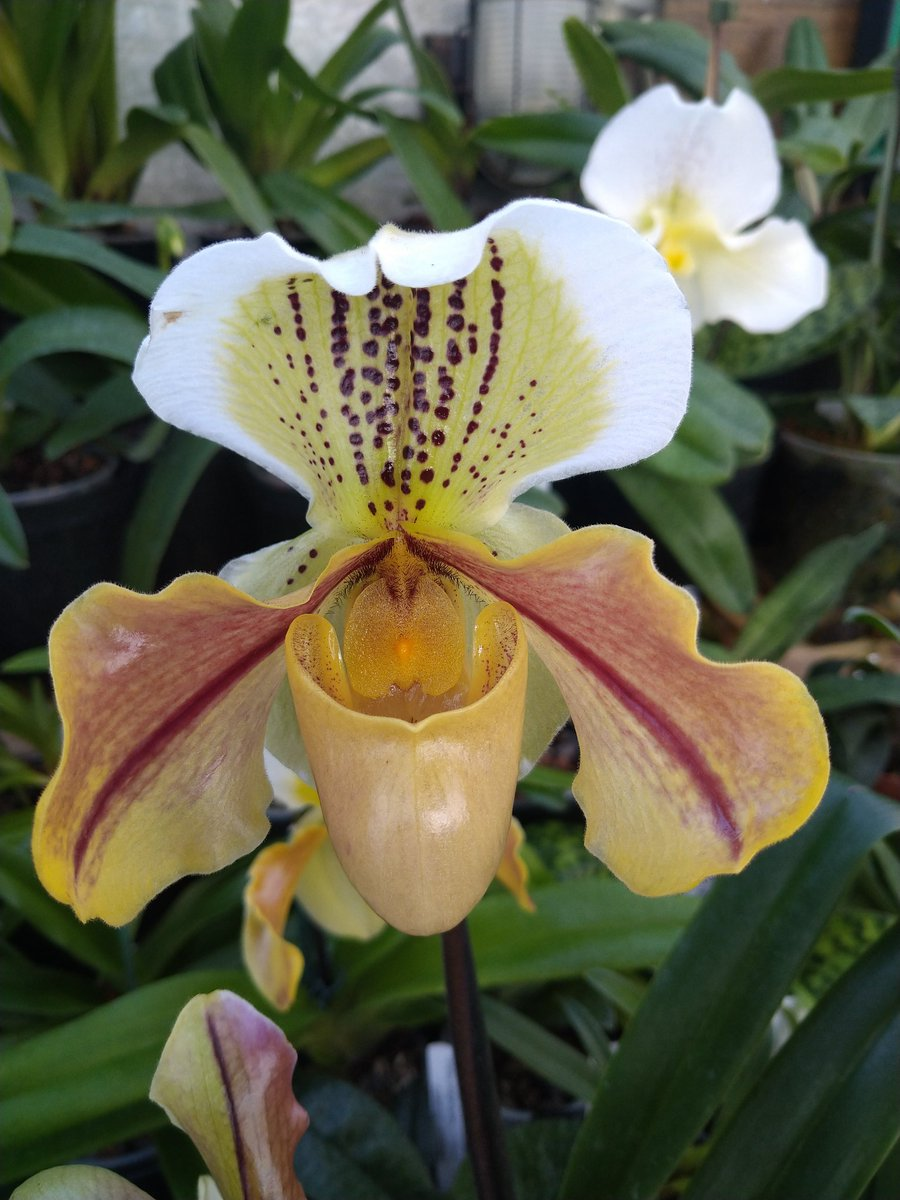 Paph Lunar World a wonderful yellow, flower nice size as well very vigorous. Nice tidy plant to, an old hybrid ow but still looks good. #orchids #hybrids #slipperorchids #plants #garden #greenhouse #flowers #orchidaceae