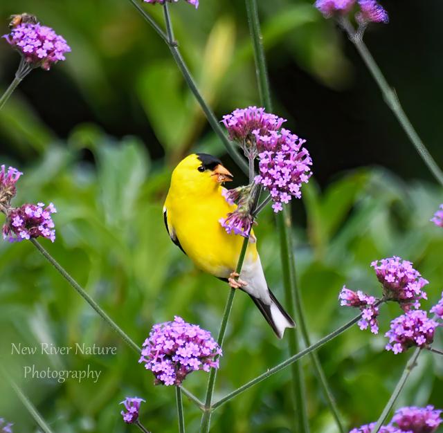 """The goldfinch has many pretty ways..."" - John Burroughs #quote -  ~ #SummerDelight #Birds #Nature #NewRiverNature #BirdPhotography #Verbena #Flowers ~"