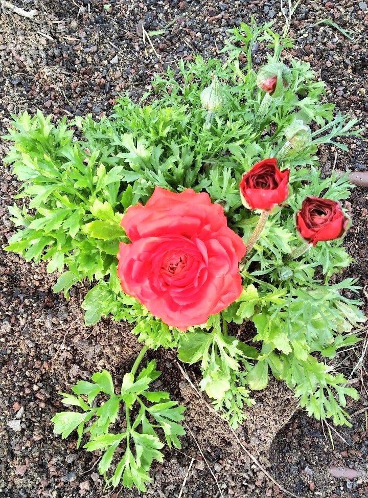 Rosa, rosae♥️🌹 #flowers #nature