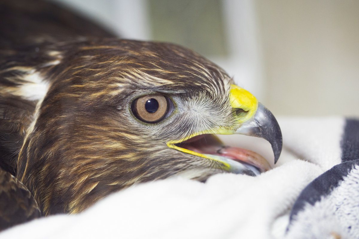 This is what #rat poison can lead to!  This #buzzard is the victim of secondary #rodenticide poisoning (confirmed through pellet analysis) and was left barely clinging to life. It has taken almost a week to stabilise it and it is still not out of the woods.   PLEASE R/T!