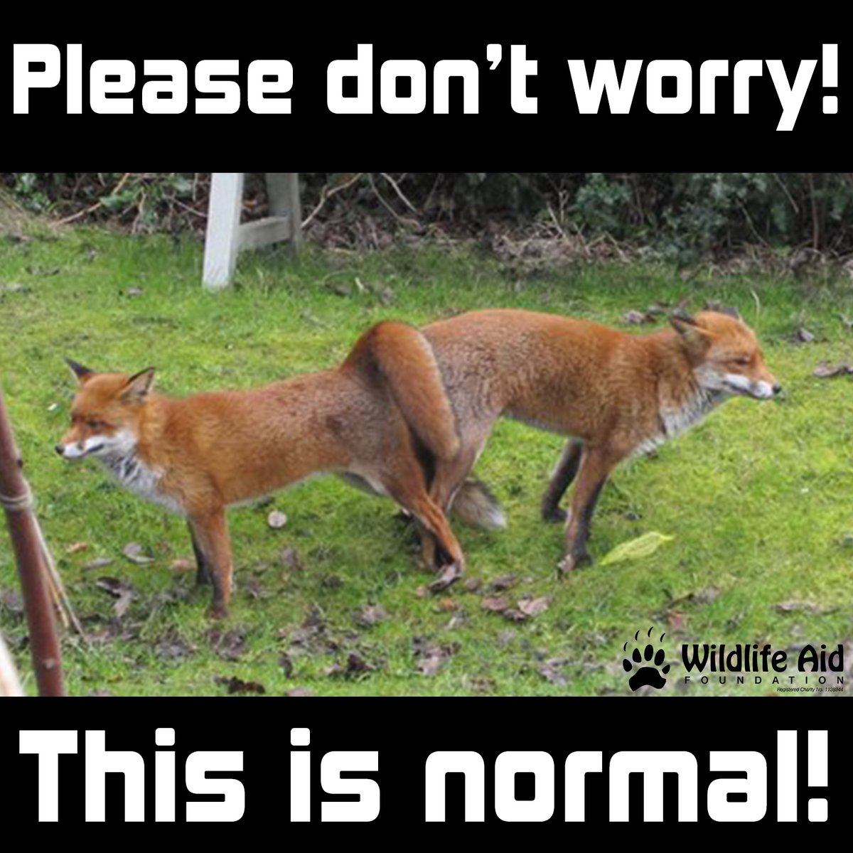 With more people at home during #lockdown, we are seeing a lot more calls regarding foxes that seem 'stuck together'.  Please be assured that this is a natural part of the #fox breeding process and they will separate by themselves after 30-60 minutes!