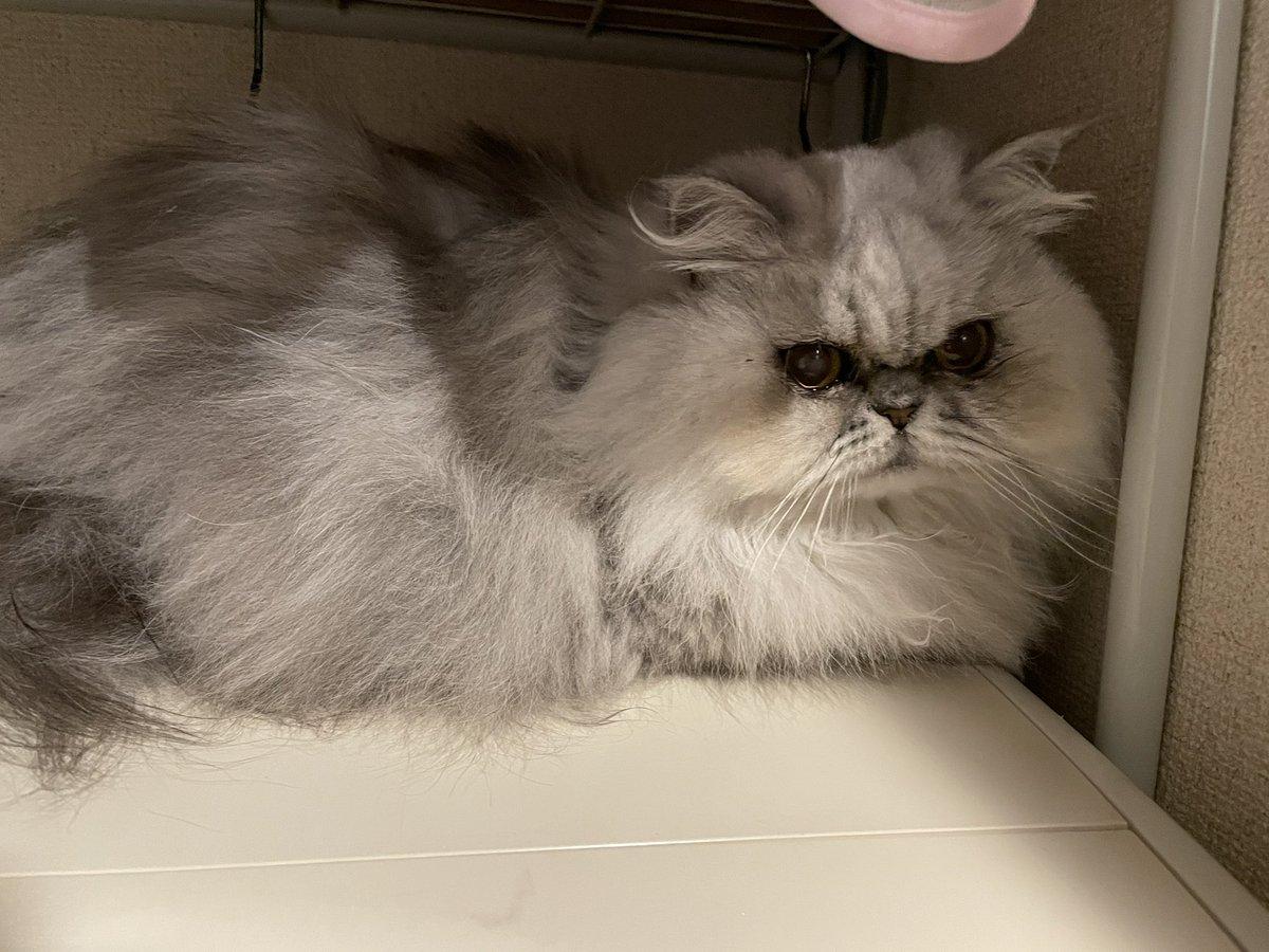 増量中のココ💦まだジャンプして洗濯機に乗れるようで安心しました😅 #persiancat  #ペルシャ猫 #チンチラシルバー #猫のいる暮らし #coco #ココ