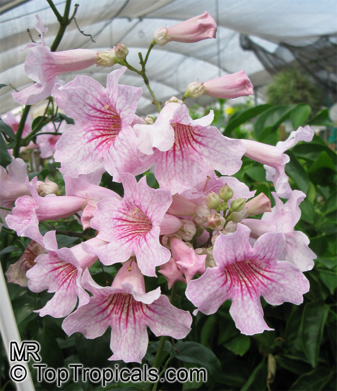 #Podranea ricasoliana - St. Johns Creeper, Zimbabwe creeper. Evergreen or deciduous twining vine, rapidly growing to 20ft tall. Beautiful pink flowers in spring and fall.   #floweringvines #MondayMotivation