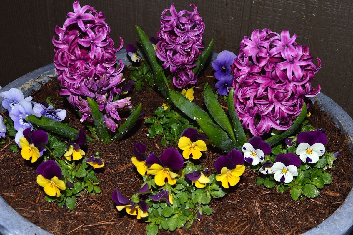 Hyacinths look nice with pansies. This is a planter from a past winter. Place hyacinths near your entry door to enjoy the exotic perfume every time you walk by.  #flower #flowers #floral #purplerain #freshflowers #floristry #flowery #flowerphotography #flowerstyle #flowermagic