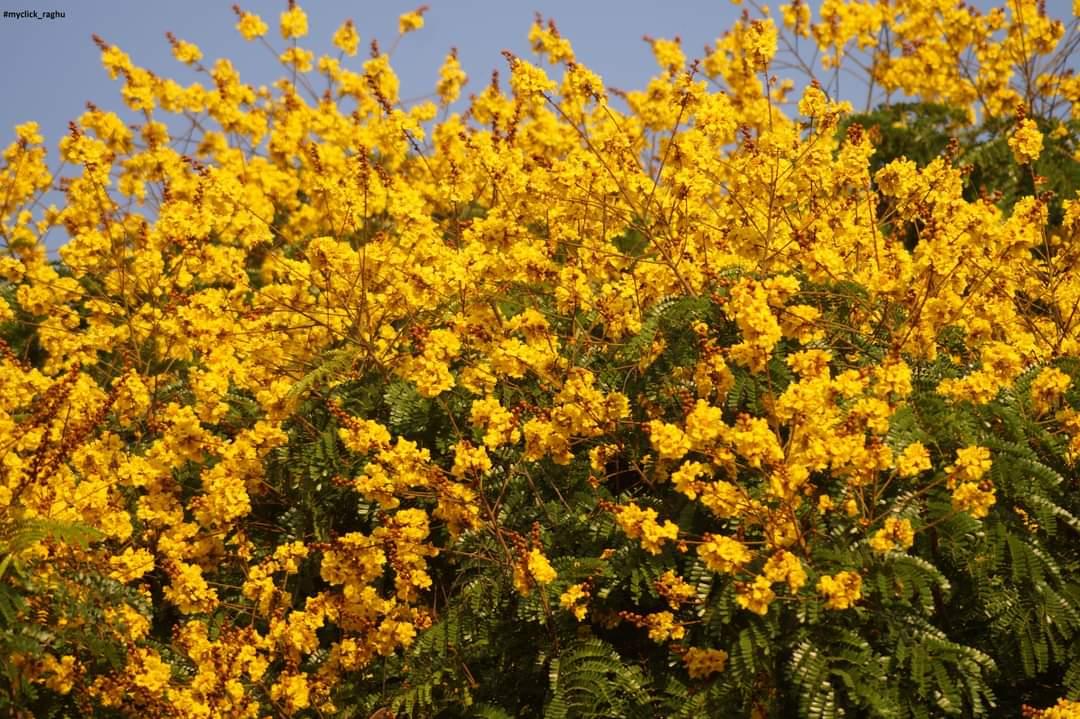 For natures Lovers.. #nature  #naturelovers  #NaturePositive  #naturephotography  #TwitterNatureCommunity  #Sankranti  #Pongal  #pongalfestival  #Pongal2021  #Sankranthi2021  #myclick_raghu  #SONY  #SonyAlpha  #Twitter  #photo  #photooftheday