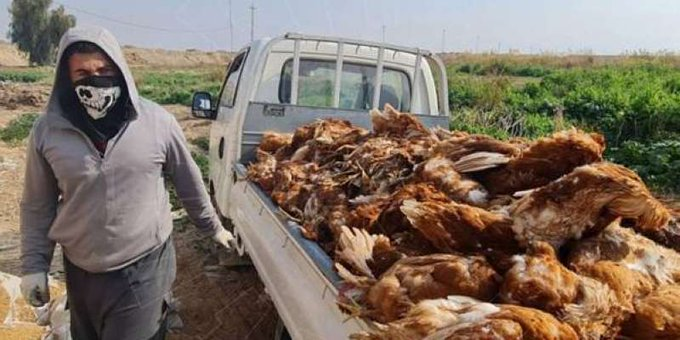 نفوق عشرات آلاف الدجاج جراء تفشي #إنفلونزا_الطيور في #العراق  #الصدارة_نيوز
