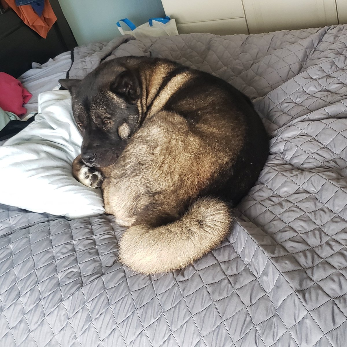 Just chilling today, might stream later idk. #Dog #akita #relax #twitch #stream #BestFriend