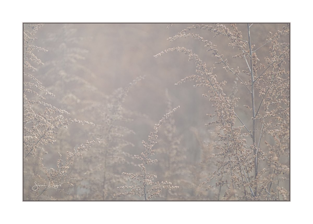 Echoes Of Astilbe for #Sharemondays2021 & #fsprintmonday   @RHSWisley Gardens, a safe haven for locals to get some fresh air & find peace of mind. I was temporarily lost to the wonderful haze of astilbe stems & seed heads. #accessibility #staylocal #StaySafe #mentalhealth