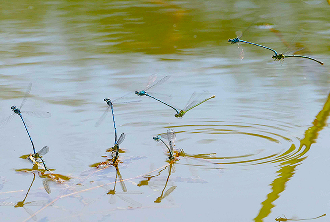 RT @Haggewoods: Blue: Damselflies - another of my favourites by @jesika55551 https://t.co/VIydabVKsP
