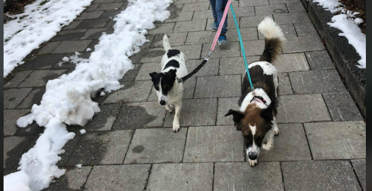 two former #Georgian street #dogs patrolling the streets of Bavaria. I am sure there is a deeper allegory somewhere here, but apparently the hounds are happy & cheerful (say those that supply treats). #bias #rescue #dog