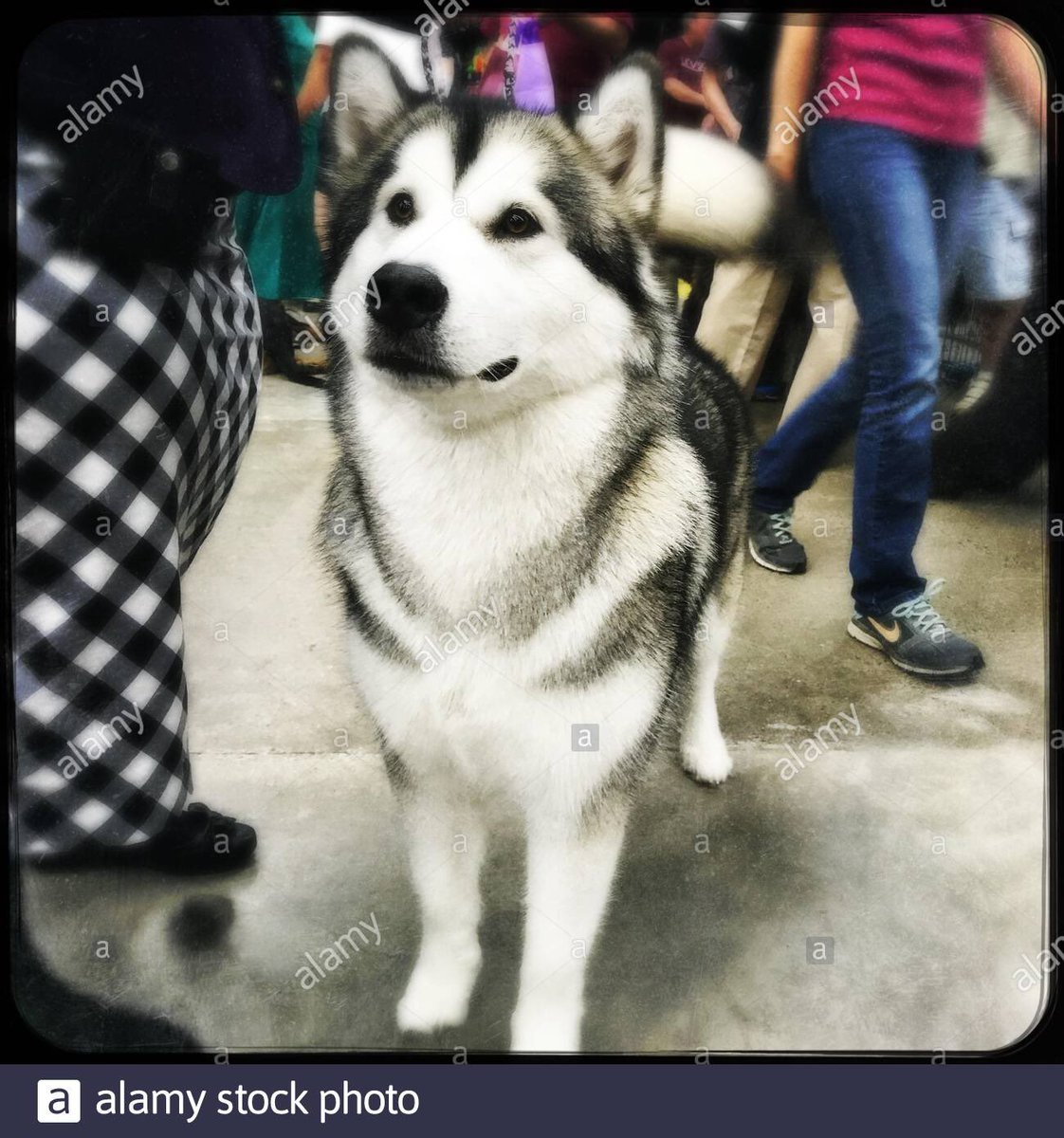 My photo's just been accepted by @Stockimo & it's now for sale on @Alamy #photography #excited #dog #malamute #dogshow #canine