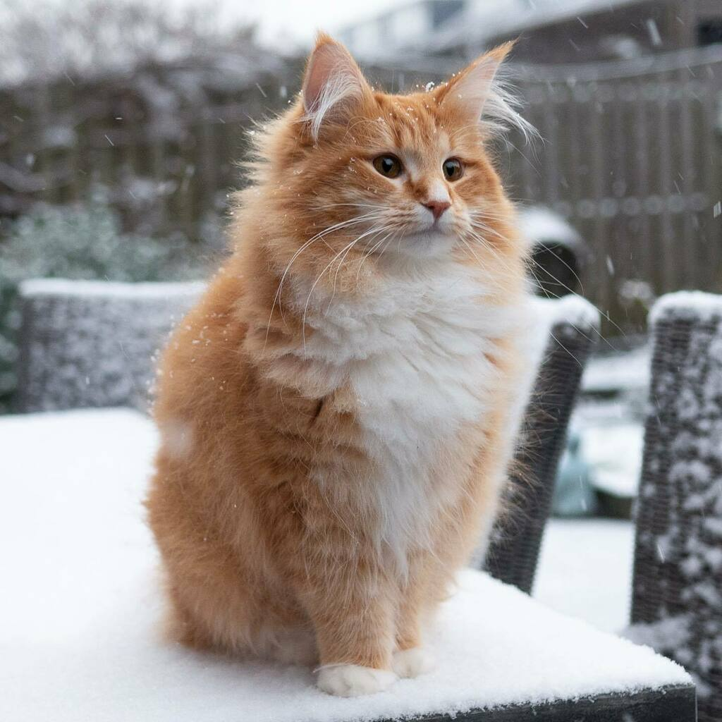 My furr was made for this weather, but I only liked it for a few seconds and that I hurried back inside 😹🥶    #cat #cats #kat #katten #catsofholland #kattenvannederland #catsofinstagram #weeklyfluff #junethekitty #thekittyjazz