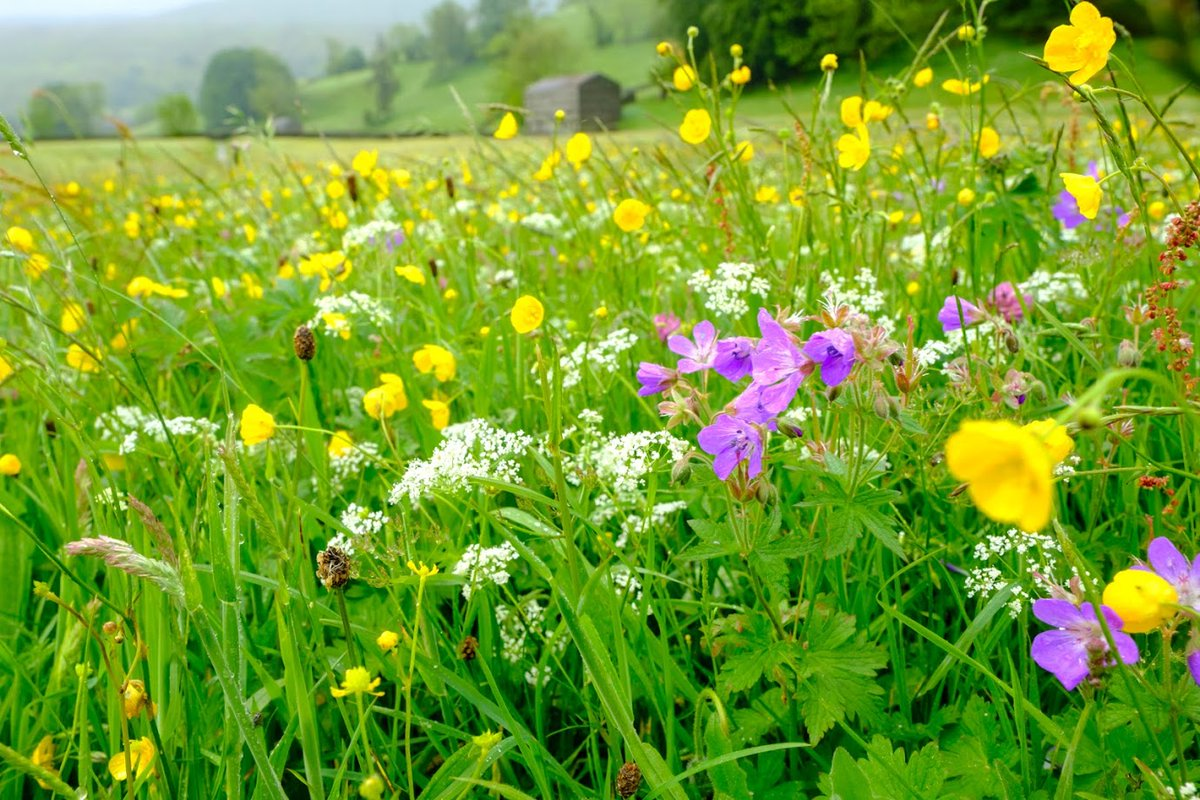 ICYMI you can now listen back to Plantlife's @DrTrevorDines alongside photographer Hugo Rittson Thomas on @BBCr4today talking wildflower meadows and the need for a #GreenRecovery 2:48:17 onwards >