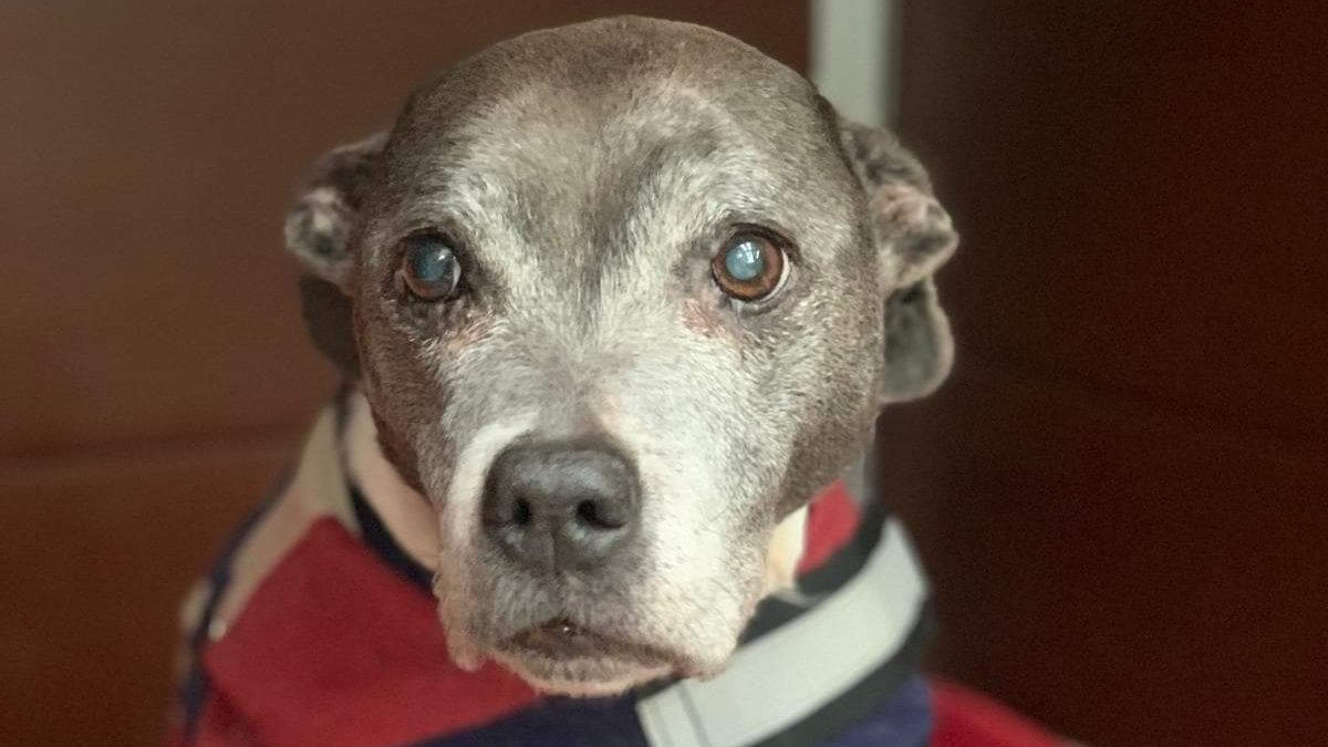 Meet Betty 💜 Betty is an 11/12 years old Staffie who has just arrived in Oldies Club care.  She will be under assessment for at least the next few weeks in her foster home in Hampshire.  Once fully assessed and ready for rehoming a full writeup will feature on our website.