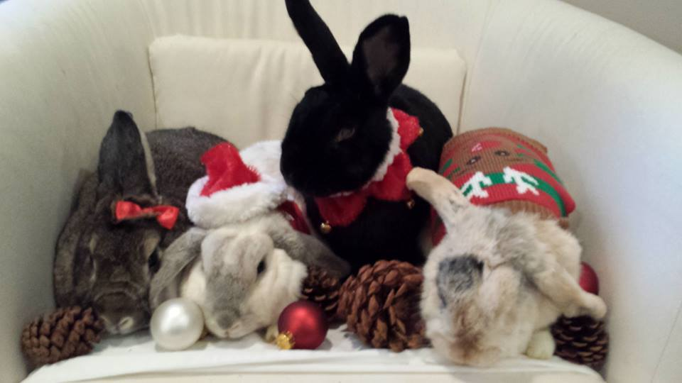 Adoptable Bunnies After the Holidays is a young Dwarf/Lop Eared mix from #Philadelphia, PA. petfinder.com/petdetail/4993…