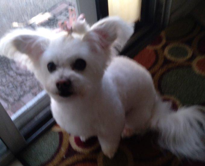 Reimbursement opportunity my Dog Daughter 70$ dog grooming pets doglover findomme femdom Goddess malitpoo