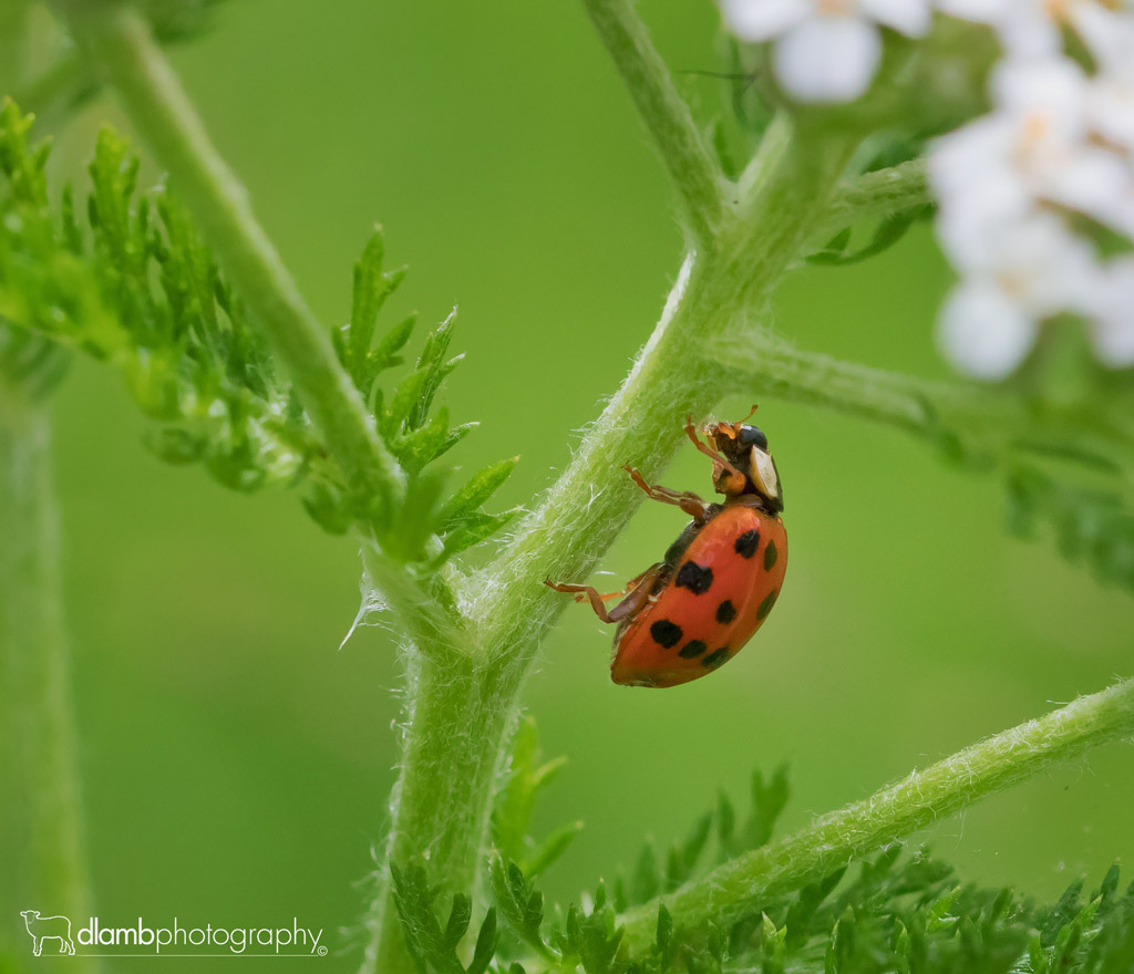 : #asianladybird #ladybeetle #ladybug #beetle #insect #bug #tiny #small #animal #wildlife #macrophotography #macro #closeup #nature #garden #plant #stem #red #green #dlambphotography