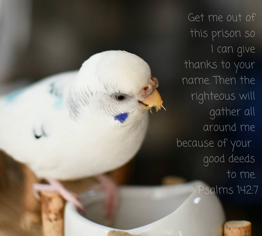 Get me out of this prison so I can give thanks to your name. Then the righteous will gather all around me because of your good deeds to me. Psalms 142:7 CEB  #bible #biblequotes #biblescripture #christ #christian #godlovesyou #bird #parakeet #parakeetlove #budgerigar
