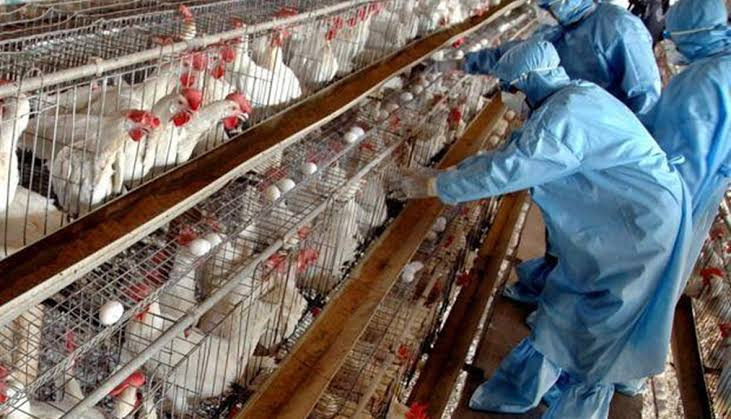 كوريا الجنوبية تعدم 19 مليون طائر.. بسبب تفشي #إنفلونزا_الطيور