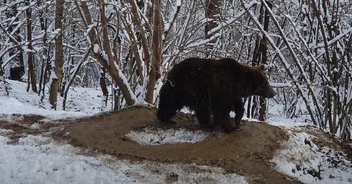 This is what you get, if you release a bear from ZOO after 20 years!    #WWF #Bears #shutdown #zoo #NaturePhotography #wildlife #animals #forest #LifeAfterLockup #photooftheday #loveanimals