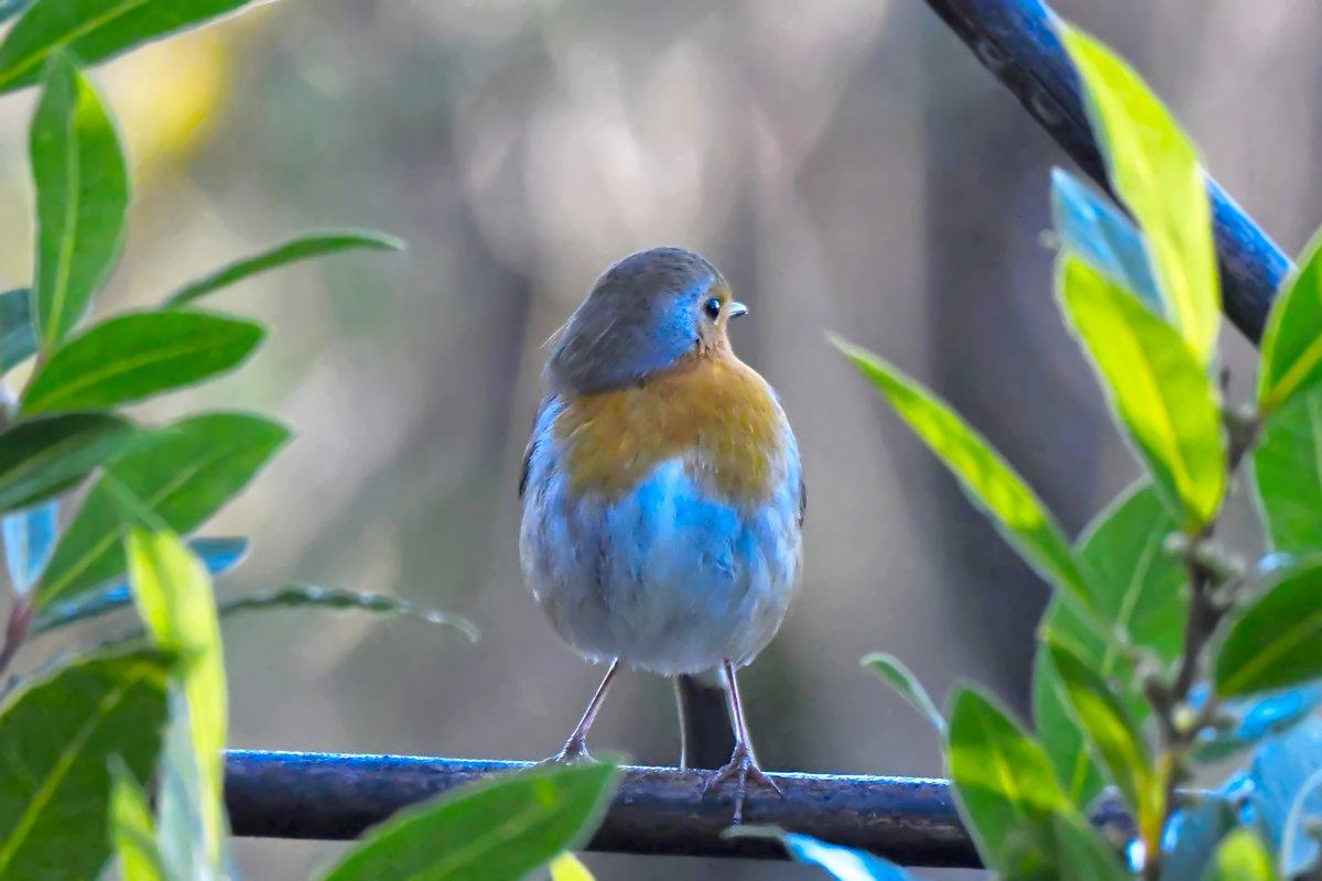 Susie being distracted my the new robin in the garden  😱#TwitterNatureCommunity #beautiful #hope #BlessedAndGrateful #inmygarden #nature #photooftheday  #bekind #tuesdaymotivations #tuesdayvibe #birdphotography