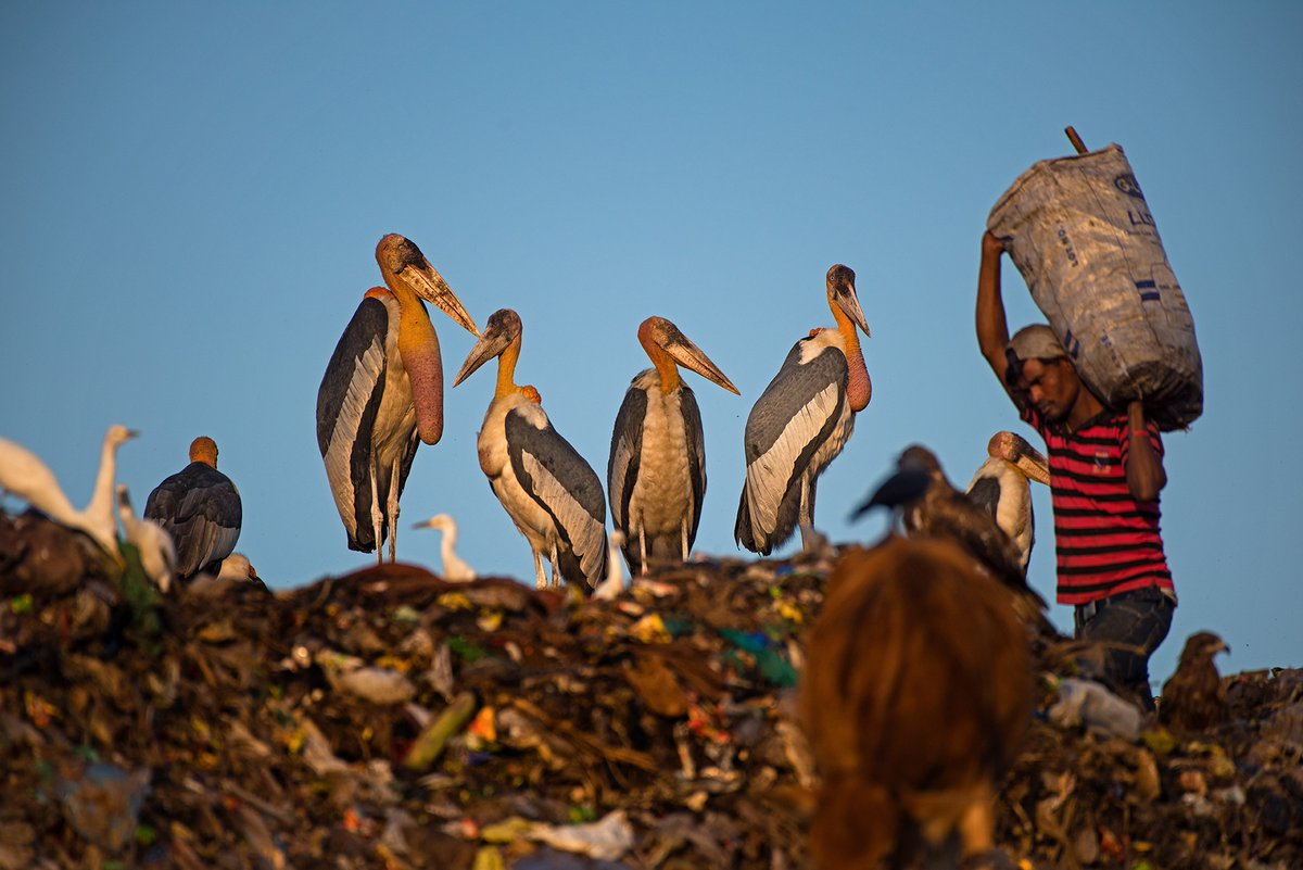 FINALISTS - #NatureinFocusAwards2020  Mayuresh Hendre  This dumpyard in #Guwahati is one of the last places in the world where you can see the Greater Adjutant #Stork in numbers. There are less than 1200 #birds left and #extinction looms large for this stunning #avian.  #IndiAves