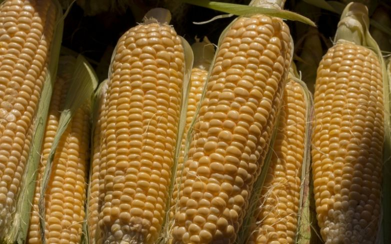 Corn Prices Form a Bearish Divergence but Supply Concerns Could Push Them Higher Corn prices continue to soar as prospects of a much-improved global economy spur investor confidence.   #forextrading #forexmarket #corn #cornprices  #commodities