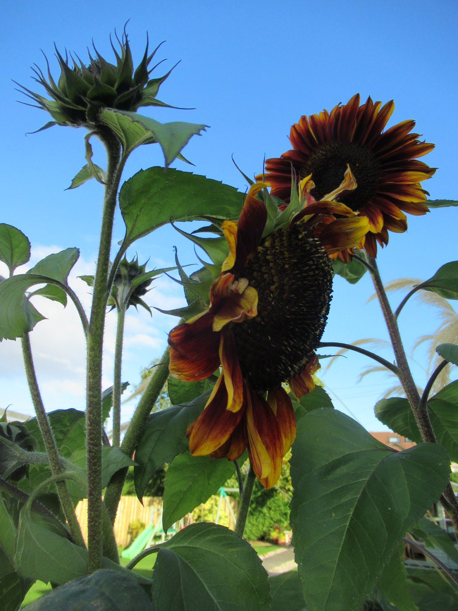 Sunflowers #sunflower #garden #Edinburgh