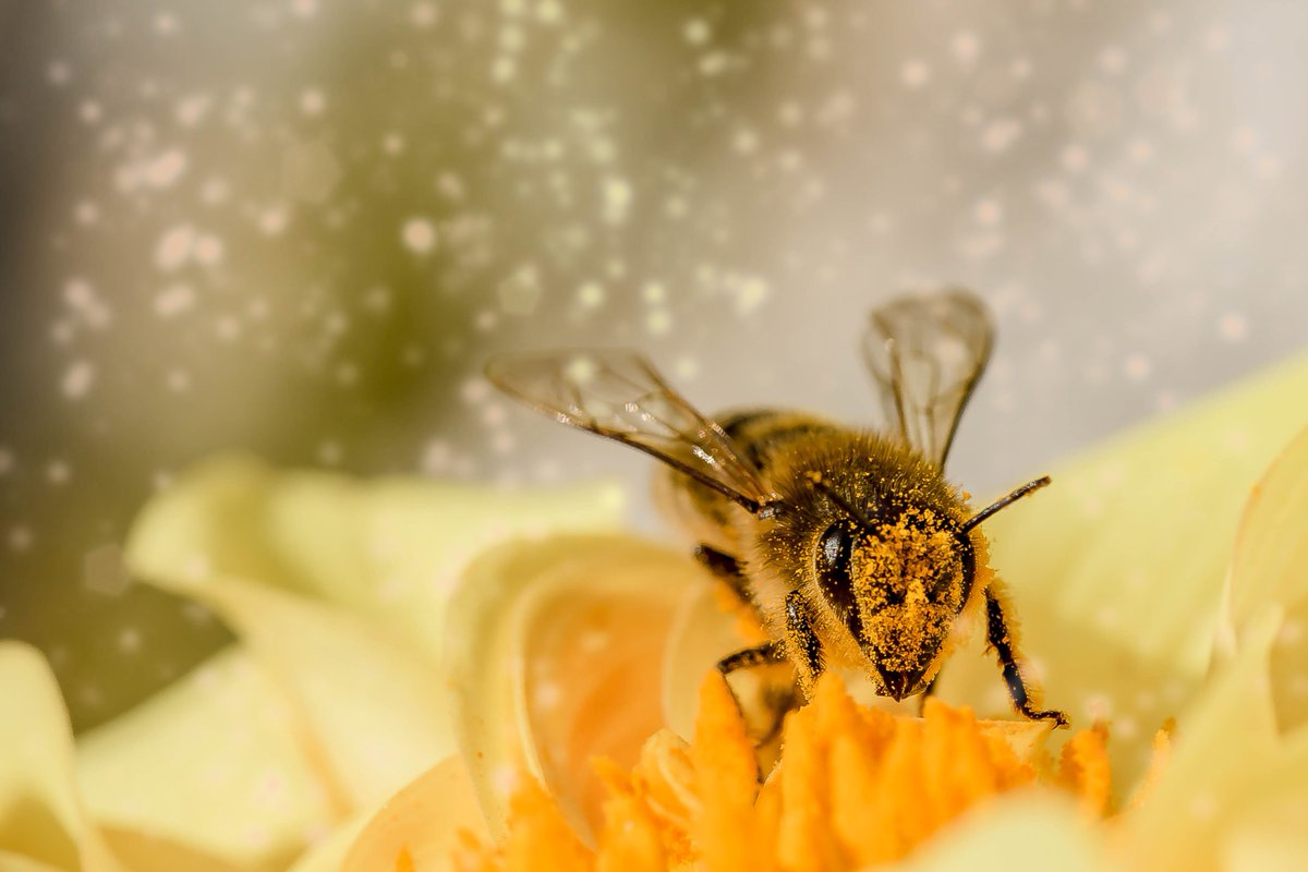 La importancia de las #abejas 🐝 - El 75% de los cultivos dependen de los #polinizadores - Se produciría un gran desequilibrio ecológico y económico - Su #miel es un alimento que aporta muchos beneficios a la salud 🍯 #BeeHappy #honey #bee #EUpollinators #apicultura #beekeeping