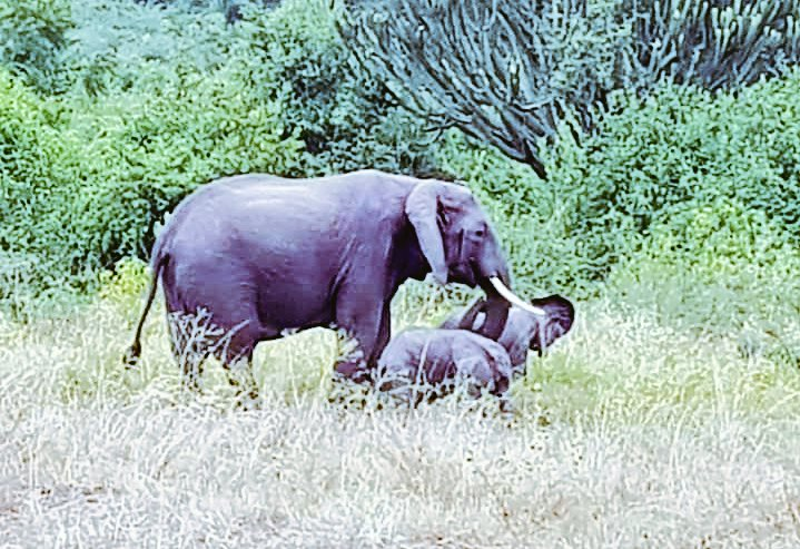 Kenya has the Equinox twins, Uganda has???? Yes you guessed it!  Uganda's first on camera sighted twin calves. Exclusive to Queen Elizabeth NP. Aren't they exquisitely beautiful😍? #VisitUganda #VisitUgandanow #TravelTuesdays #AdventureStartsHere #Elephants #Uganda #TourUG