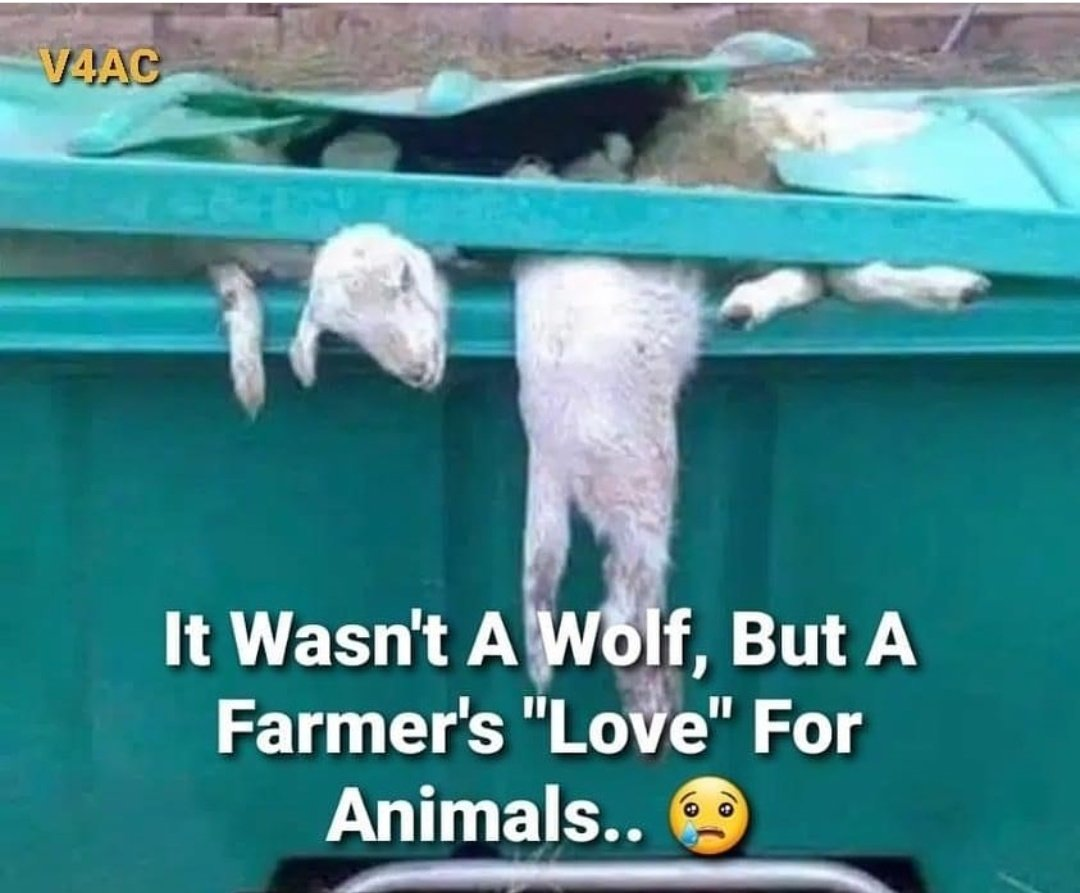 """_____  #ScumPeople ☠️  #Ranchers ☠️ boast of being the great lovers of #animals, but when you ask them about those who NO longer give milk or meat, their answer is always The same 👉 """"SACRIFY THEM NO longer serve their purpose""""  #UnKn0wn #animalrescue"""