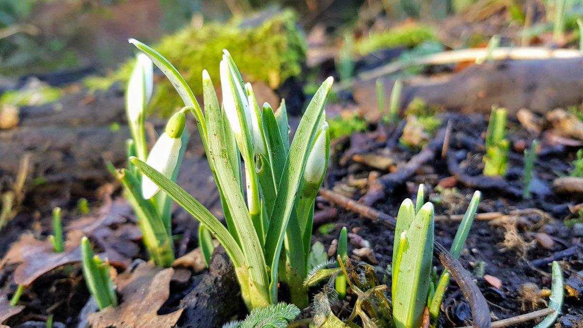 First glimpse of this year's snowdrops #wildflower #flowers #SNOWDROP #hope #nature #tuesdayvibe #Growth #January