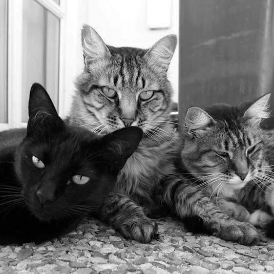 3 ตะหารเสือ! : Nicky & Mia . . .  #CatMafia #Mafia #Bad #Kitty #Cute #Cat #Love #Dog #Caturday #Puppies #Relax #Relaxed #Art #Artist #Chillin #Chic #Live #Life #Soul #Spirit Xoxo