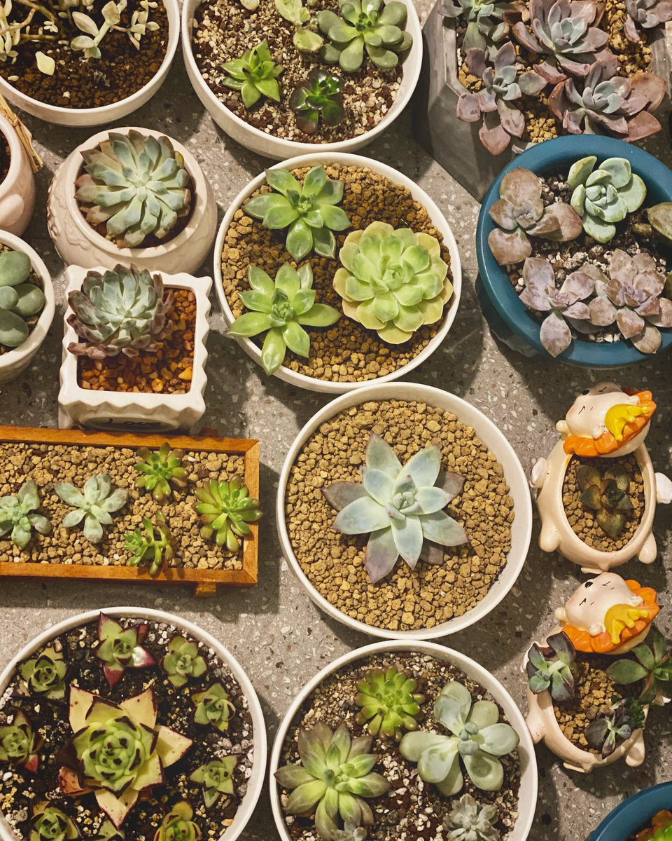 Blessed and Blooming Succulents 💐  #littlelot #succulents #koreanecheveria #koreansucculents #beaplantparent #plantparent #plantitasofmanila #plantitosofmanila  #succulentlove