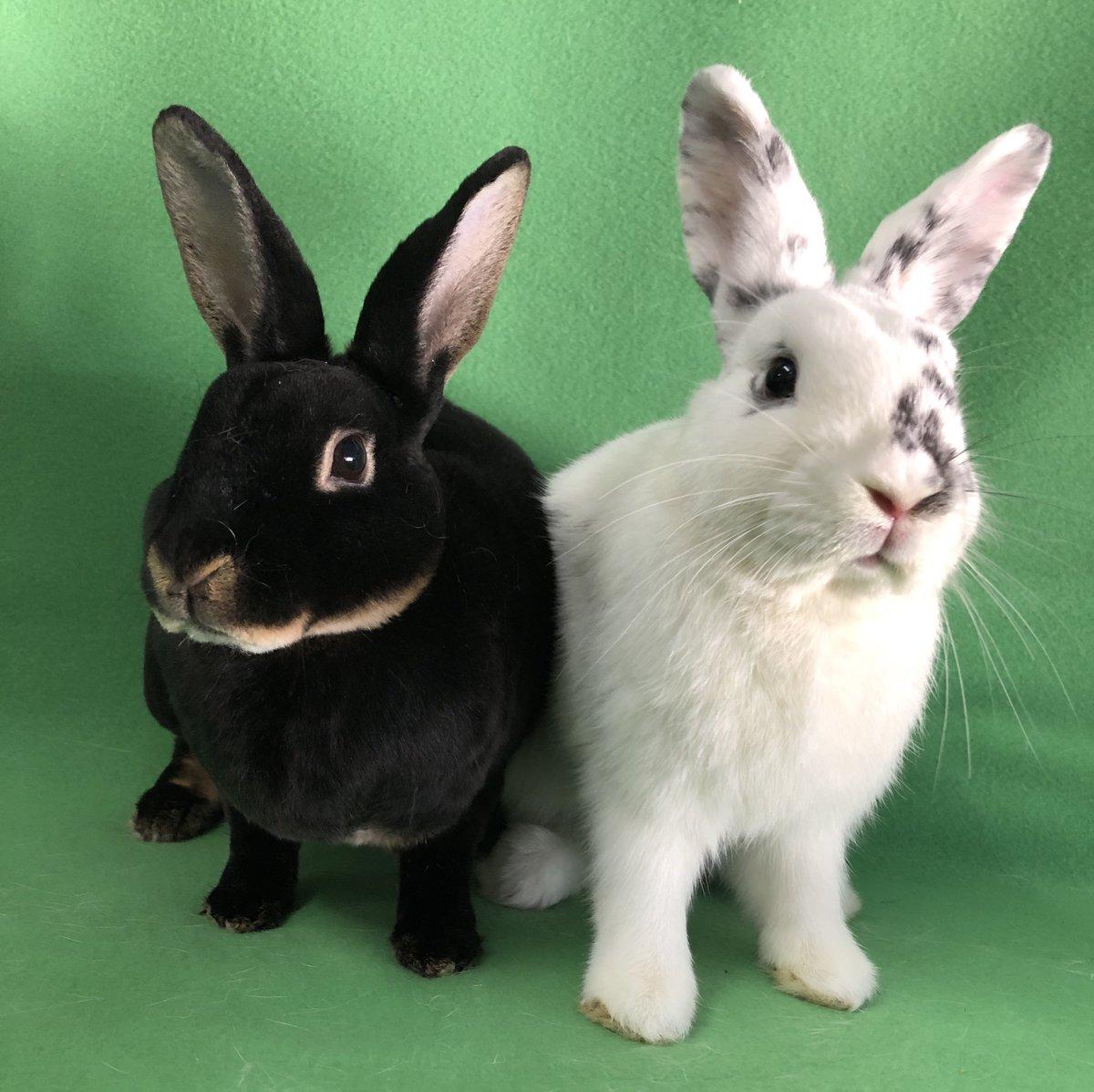 Peanut & Dunkin are adult #rabbits from #HaltomCity, TX. petfinder.com/petdetail/4885…