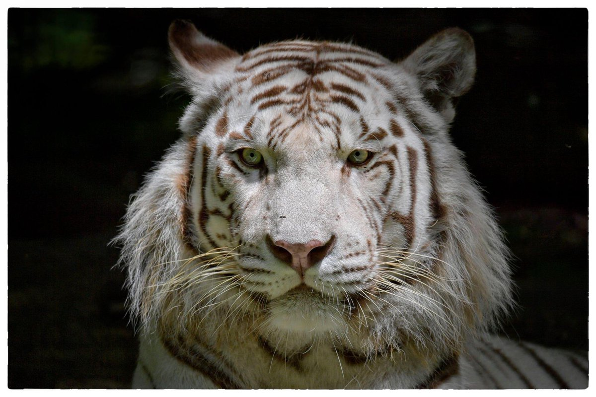 Bengal #WhiteTiger @zoobeauval @delphinedelord @NikonUSA  Bengal #Tigers are solitary animals that rest in the shade during the day, keeping energy for their hunts at night. They regularly patrol their territory and mark the borders with urine.#TigerTuesday  ©Véronique AUBOIS -