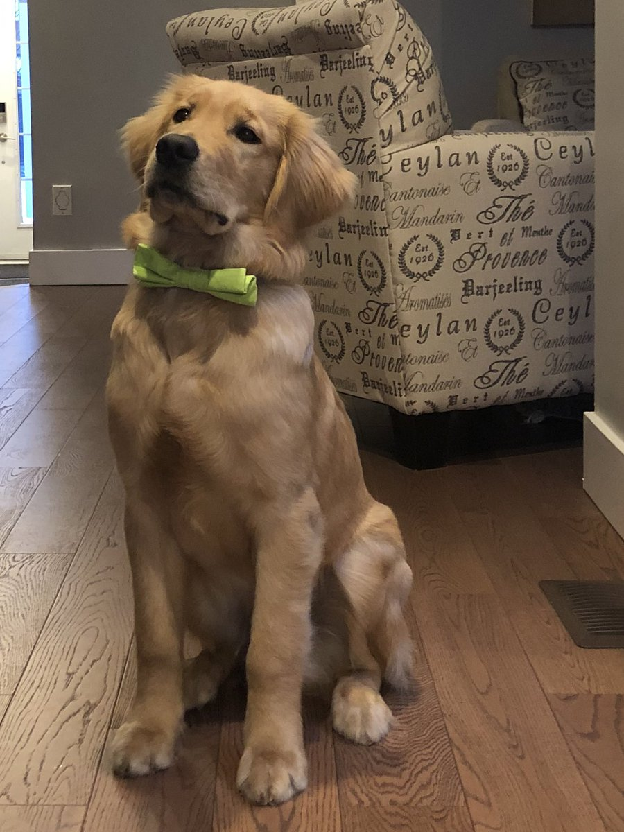 Happy Tuesday! It's cold this morning. Too cold for zombies. All clear. Mom has to go into the office today. Bummer. I hope dad has fun things planned. I have tons of energy today! #tiesofbenson #dogsoftwitter #dogs #tuesdayvibe #bowtie #goldenretriever #ZSHQ #smileforbert
